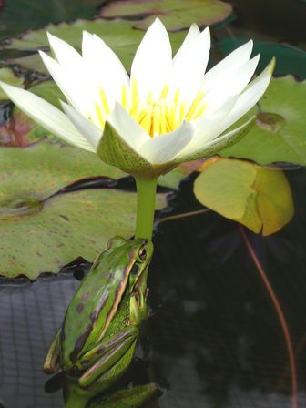 Frog on a Mrs Geo. Pring Tropical Water lily